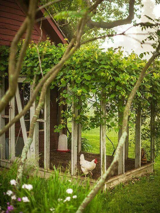 homesteading -chicken