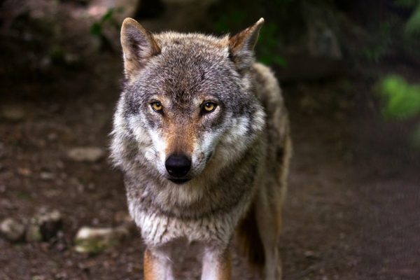 This wolf could be from Northern Minnesota.