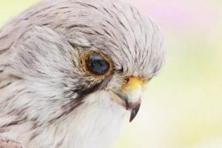 falcon-2339877_640