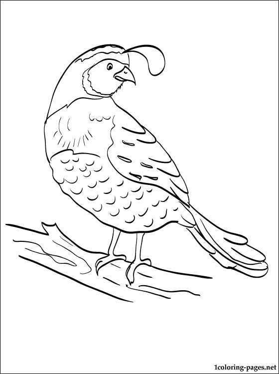 Quail Coloring Pages For Kids Sketch Coloring Page