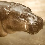 Calvin Coolidge's Pygmy Hippo, Billy