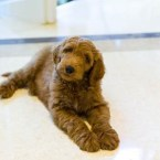 A Goldendoodle May Join the Trump White House