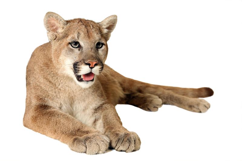 Theodore Roosevelt's Wild Cat