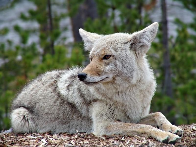 Theodore Roosevelt's Coyote