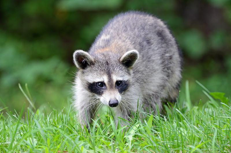 Theodore Roosevelt's Raccoon