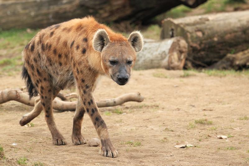 Theodore Roosevelt's Hyena