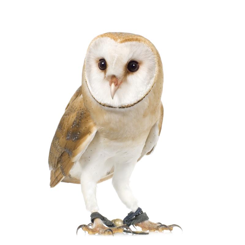Theodore Roosevelt's Owl