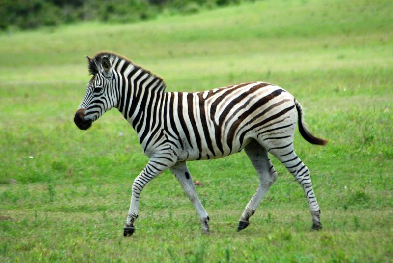 Theodore Roosevelt's Zebra
