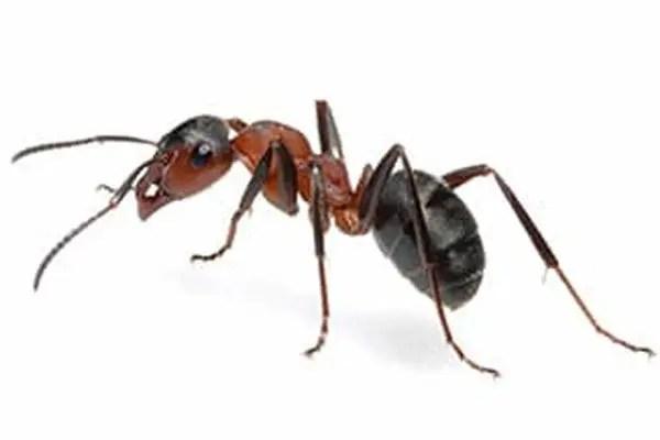 Ants & Carpenter Ants