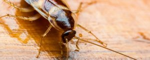 roaches Bedbugs Presidio Pest Management