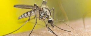 mosquitospp