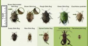 stink bug fila