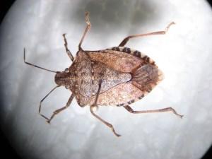 stink bugs Bedbugs Presidio Pest Management