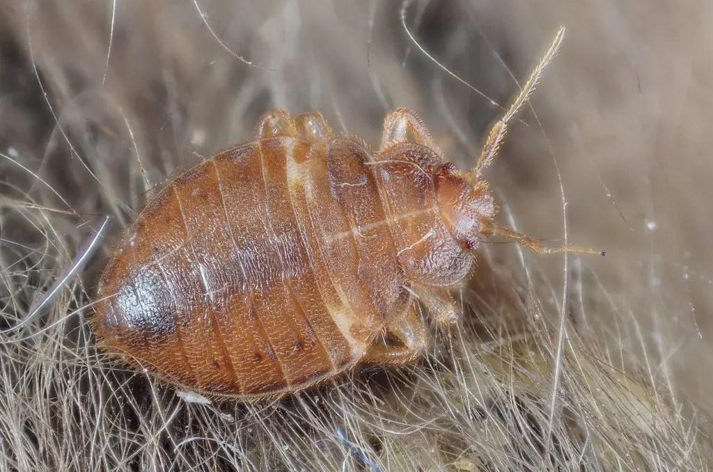 bed bug adult