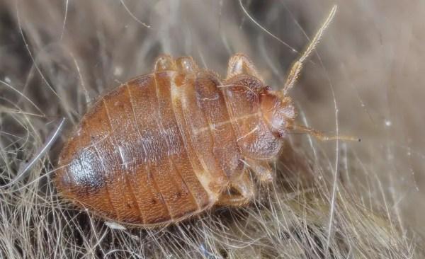bed bug adult Bedbugs Presidio Pest Management