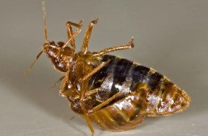 bed bug reproduction