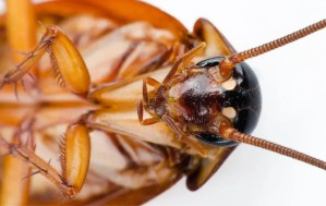 Cockroaches Presidio Pest Management