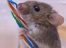 mice Presidio Pest Management