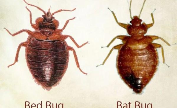 bat_bed-bug Presidio Pest Management