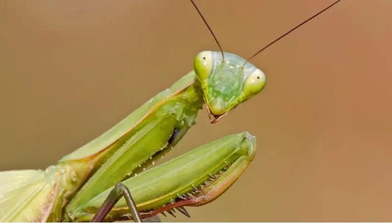 Presidio Pest Management - praying mantis