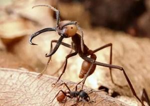army ants 300x213