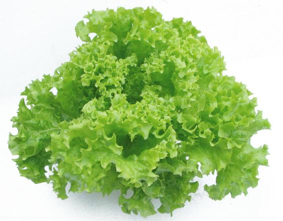 กรีนโครอล (Green Coral Lettuce)