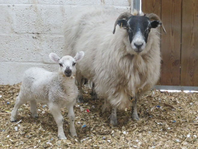 Sheep And Lamb Found Wandering Aberdeen Streets Press