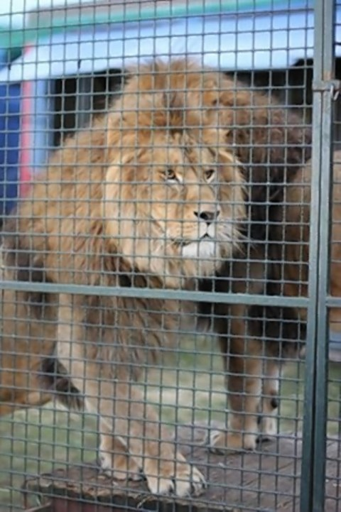 One of the lions at the farm