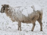 Spring lambs will be turning extra white this morning in an extremely late snowfall.