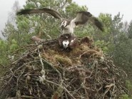 The new osprey at the Loch of the Lowes nest