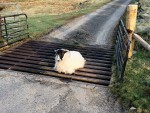 Not quite sure how this sheep got as far as it did over this cattle grid near Brechin... The photo has been shared over 1,000 times on social media since being posted