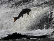 The number of rod caught salmon has fallen to second lowest level since records began.