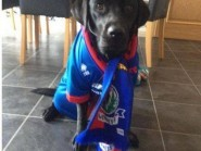Theis adorable black lab lends its support to Inverness Caledonian Thistle