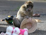 The real tragedy here is that the monkey didn't wear the hat