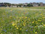 The award-winning wildflower meadow in Torry.