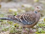 The Oriental Dove