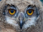 A five week old Indian Eagle Owl