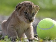 Lion cub Murray next to a tennis ball as he is given a health check at Blair Drummond Safari Park near Stirling
