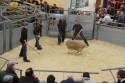 More than 800 rams are set to go under the hammer