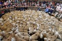 Lambs in the ring at Lairg