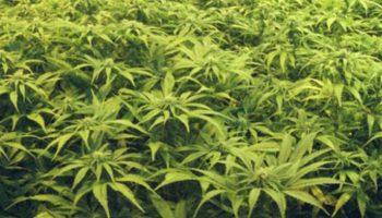 Lausitz/Berlin,Cannabis-Plantage,#Cannabis