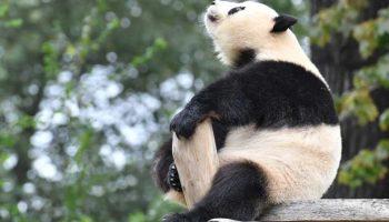 Meng Meng,Berlin, Jiao Qing,Panda,Tiere,Berliner-Zoo,Trick