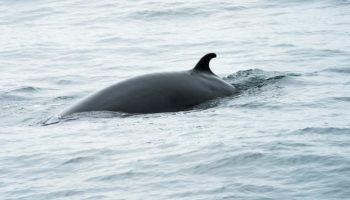 Walfang-Saison,Tiere, Nachrichten,Ausland,Island,Wale,International Fund for Animal Welfare, Zwergwale