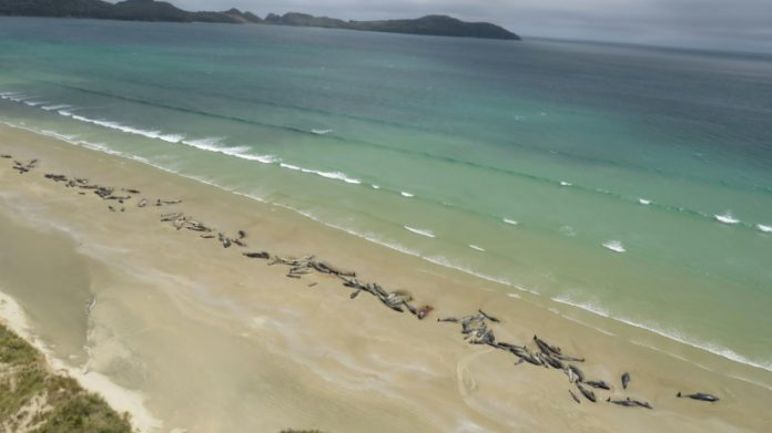 Grindwale,Neuseeland,Tiere,News,Nachrichten,Presse,Aktuelles