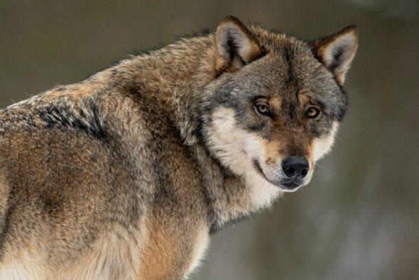 Svenja Schulze ,Wolf, Tiere