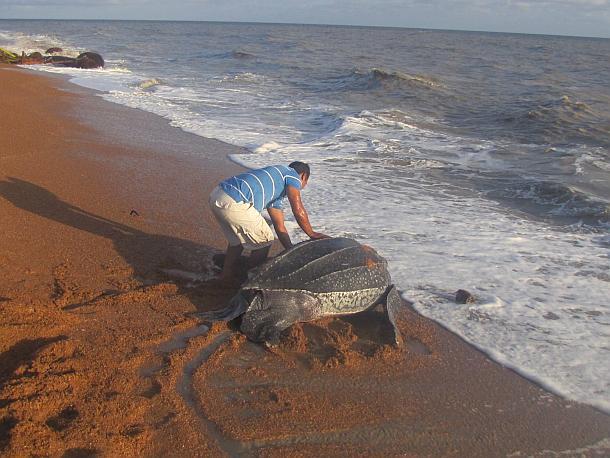 Meeresschildkröten,Wildlife,Presse,News,Medien,Tiere,Guyana,