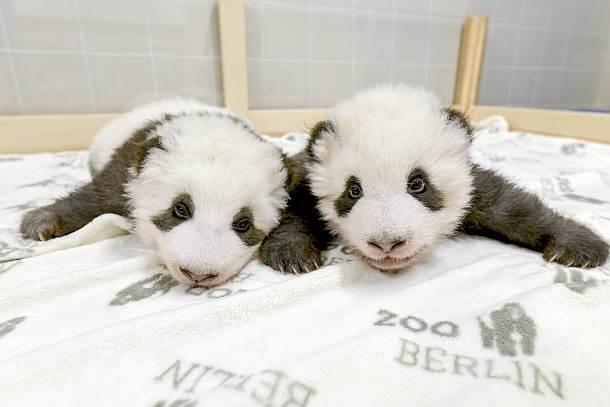 Die neuesten Bilder der Panda-Zwillinge im Berliner Zoo