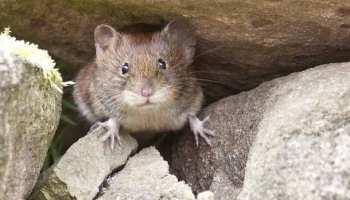 Australien,Mäuse,Presse,News,Medien