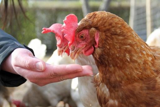 Burhøns med et nyt liv