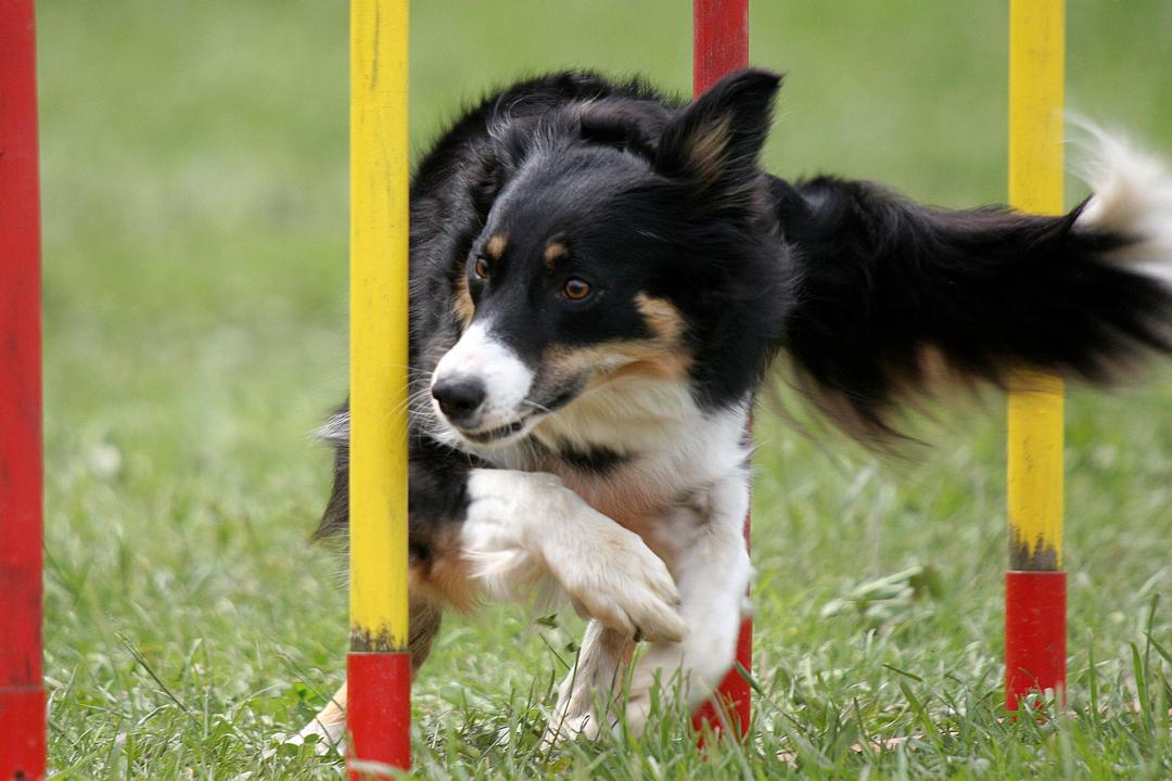 Hund på agilitybane